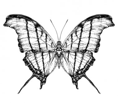 Detailed realistic sketch of a moth