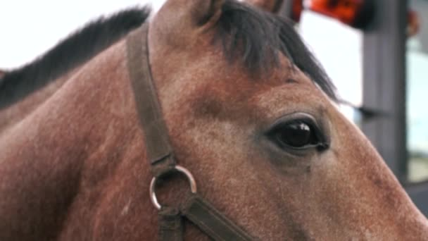 Close-up of the eyes of a purebred brown horse, blinking and driving away midges. Race horse head. Horseback riding . Horse farm, selective focus, shallow depth of field