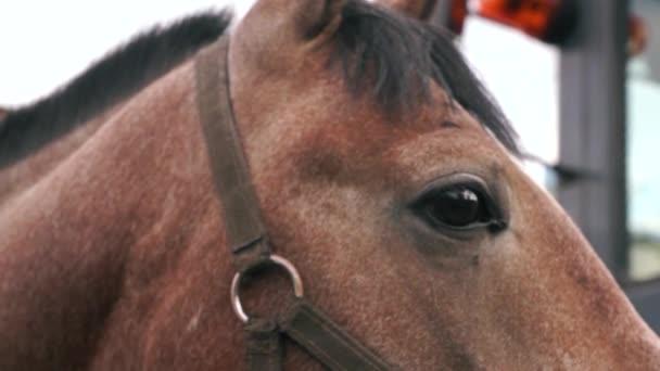 Detailní záběr očí čistokrevného hnědého koně, mrkajícího a odhánějícího trpaslíky. Závodní koňská hlava. Jízda na koni. Koňská farma, selektivní zaměření, mělká hloubka pole