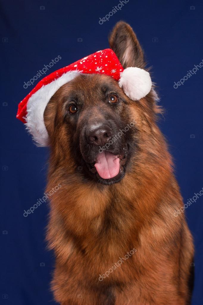 Deutscher Schäferhund im Weihnachten Hut. Blauer Hintergrund ...