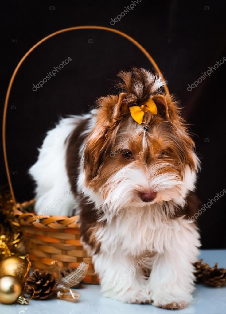 Biewer Yorkshire Terrier Und Weihnachts Dekorationen Stockfoto