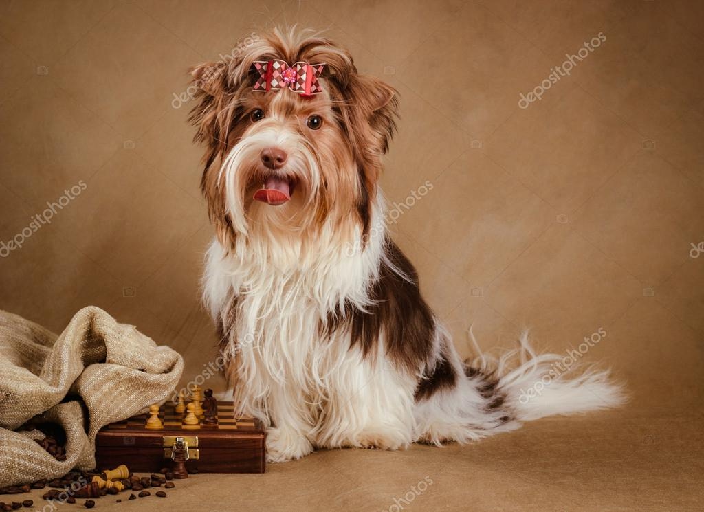 Biewer Yorkshire Terrier Welpen Auf Braunen Hintergrund Stockfoto