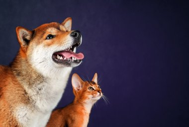 Cat and dog, abyssinian kitten , shiba inu puppy look at left
