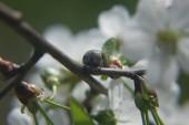 Castor bean tick (Ixodes ricinus)