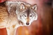 Közelkép a vadon élő Farkas
