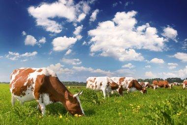 Herd of cows grazing in green meadow stock vector