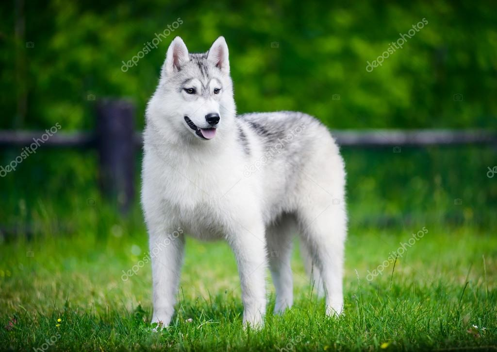 Siberian husky on green grass