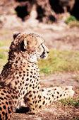 Gepard, spočívající na trávě