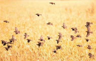 flock of sparrows over field