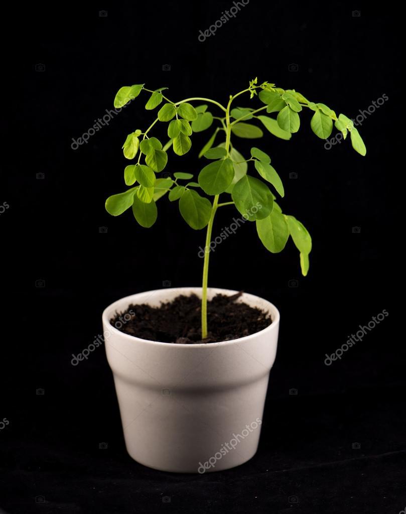 Moringa olifeira plant isolated