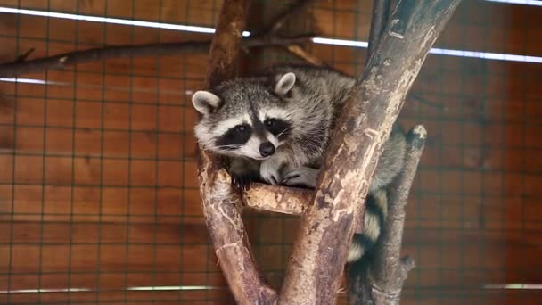 Gray raccoon sits on a tree in a cage and yawns
