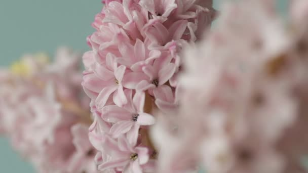 Beautiful pink flowers of hyacinth whirl on a light blue background. Design and floral floristics concept