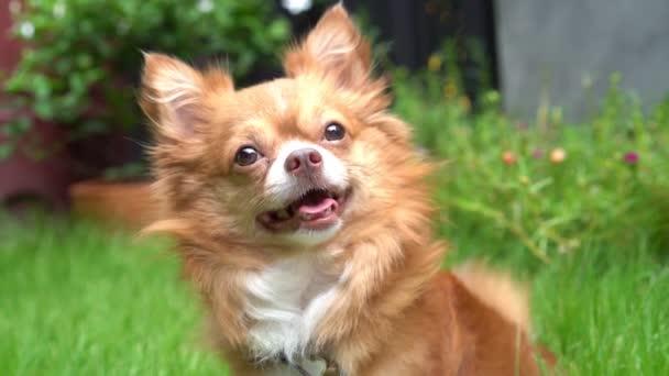 Szekrény aranyos Chihuahua kutya ül a gyepen, és mutassa arcát, amikor úgy érzi, kétséges, a hang a tulajdonos beszél. Lassú mozgás.