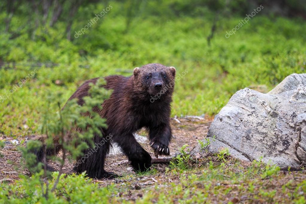 Wolverine (Gulo gulo) in finnish tajga