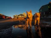 Fotografie Greenland Dog puppies