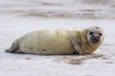 Young Grey Seal pup