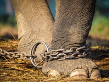 Elephant's foot tied to metal chain
