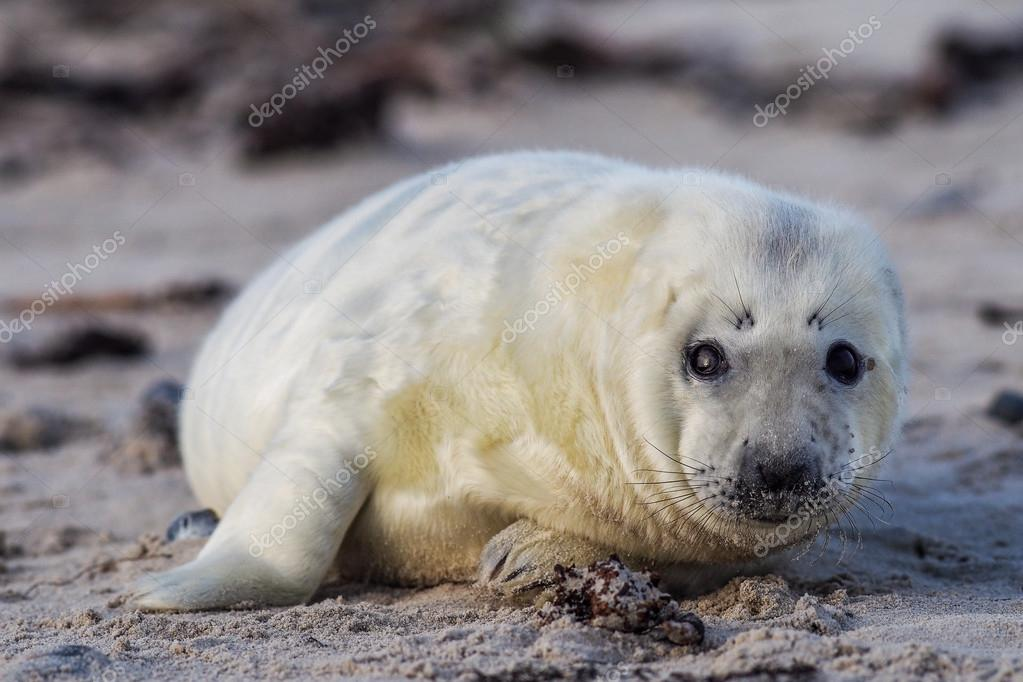 Young Grey Seal pup