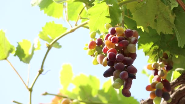 Ripening bunches of grapes in sunlight.