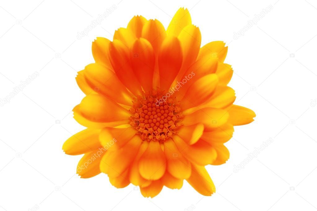 Orange flower closeup on white background, clipping path