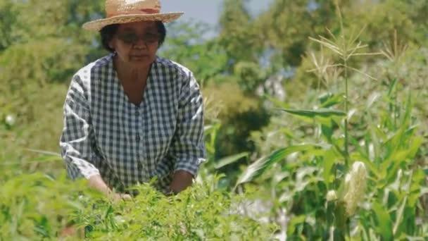 Asijské starší ženy farmaření pěstovat ekologickou zeleninu vařit doma. Projděte produkty a zkontrolujte, zda rostlinné choroby. Koncept dostatečného smíšeného hospodaření pro seniory