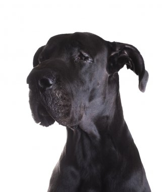 Great Dane with tears