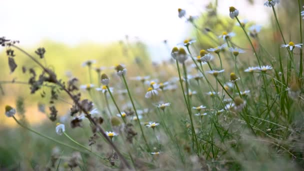 meadow of daisies for the preparation of chamomile tea in summer