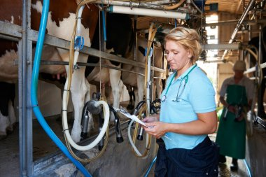 Vet Inspecting Cattle Whilst They Are Being Milked