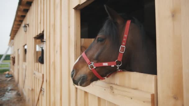 Tulení hnědý kůň vyhlíží z okna stáje koně stáje se stájemi