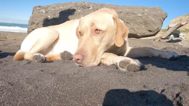 Labrador retriever nyugszik fekszik a strandon homok egy napos nyári reggel