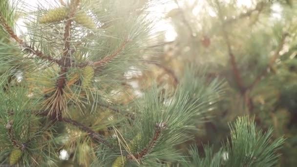 A fenyőfa zöld ága fiatal tobozzal
