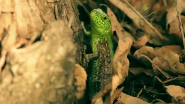 Makro snímek ještěrku zelenou v listoví