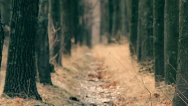 Rack focus through the trees path