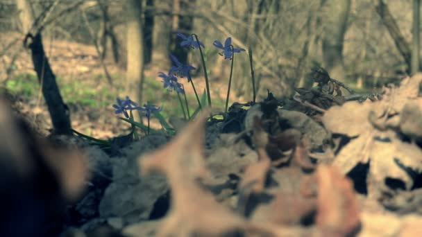 Scilla. Snowdrop in the wood.