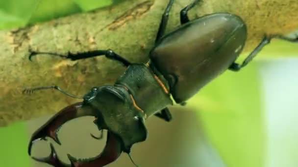 The Stag beetle. Lucanus cervus
