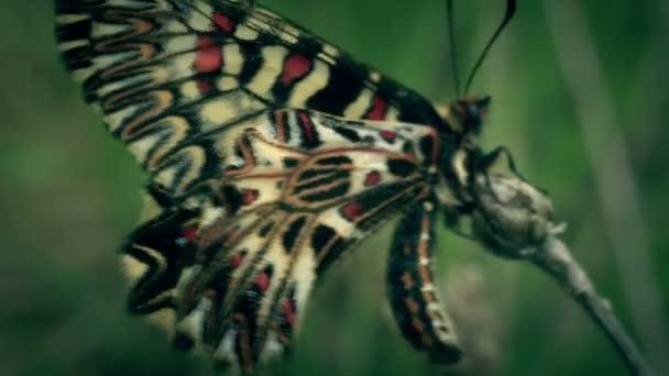 Yellow butterfly Zerynthia polyxena. Macro.