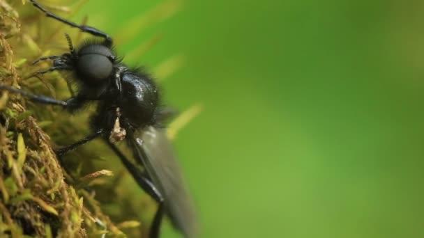 schwarze Fliege bibio marci. Makro.