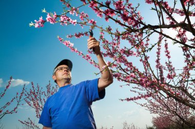 Gardener pruning peach tree branches with pruning saw