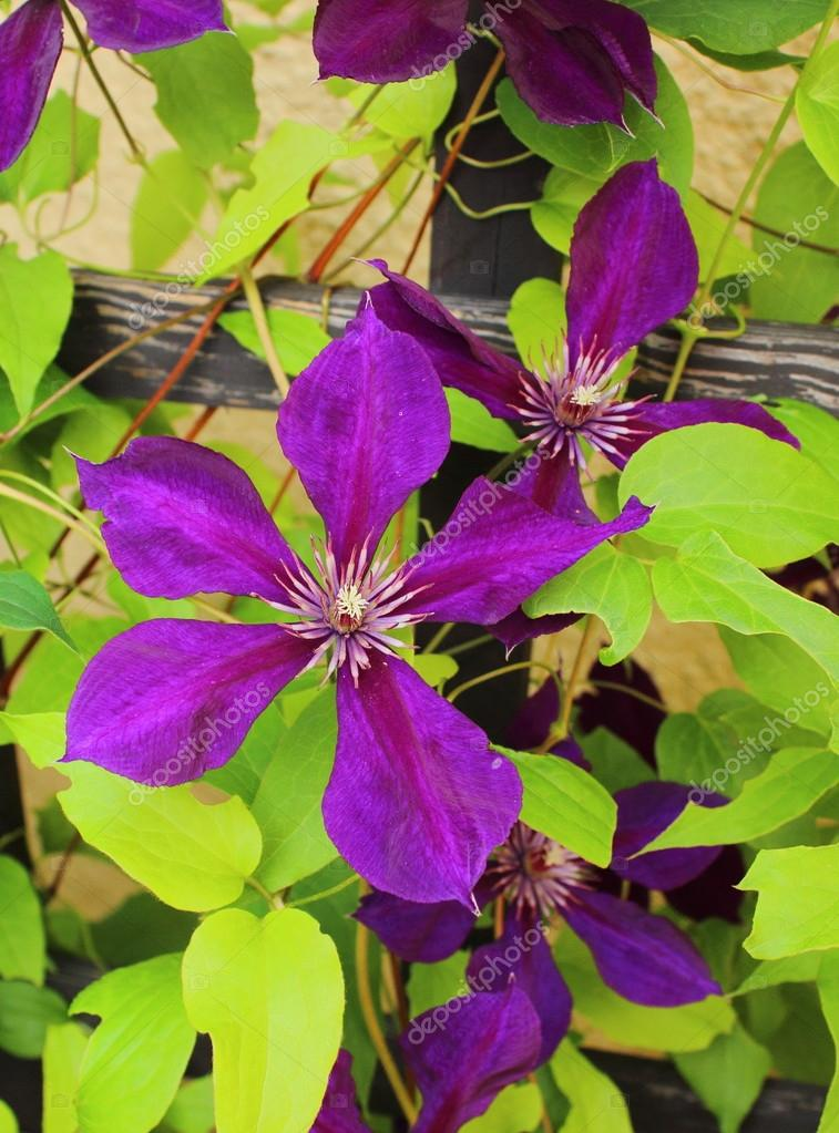 Flower od clematis on leaves background