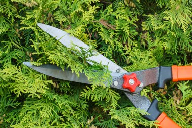 Hands of woman uses gardening tool to trim bushes
