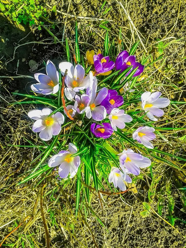 Die Ersten Blumen Fruhling Stockfoto C Alexey19781 105850434