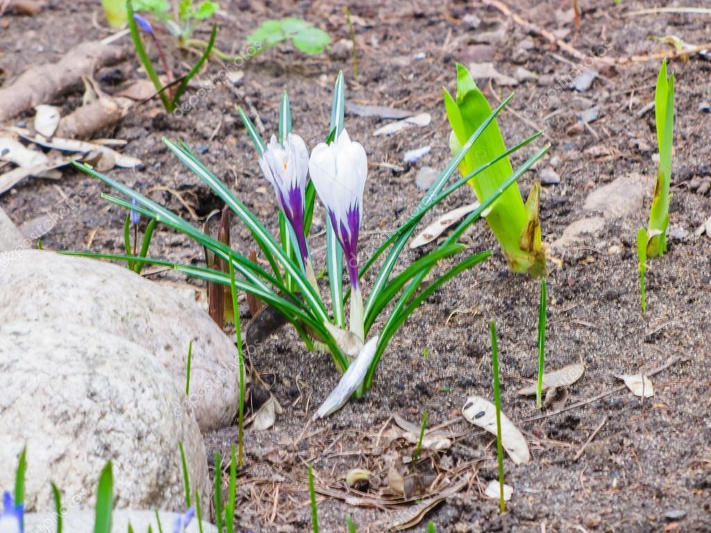 Die Ersten Blumen Fruhling Stockfoto C Alexey19781 106015196