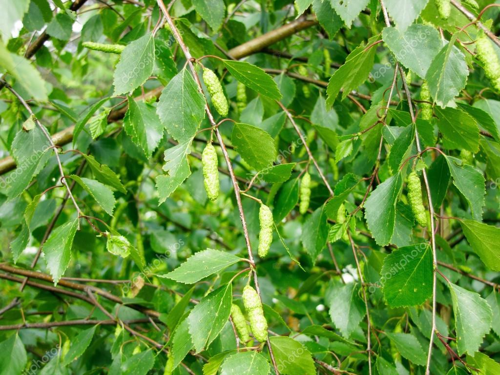 Branch of birch (Betula) with earrings summer