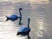 Fotografie tsaritsyno park swan moscow