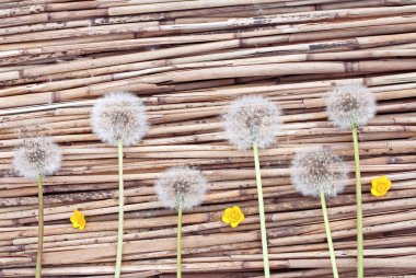 Dandelions on dry reed background
