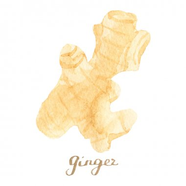 Watercolor ginger on the white background, aquarelle.  Vector illustration. Hand-drawn spice for mulled wine or cooking.