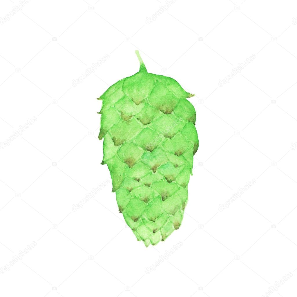 Watercolor hops flower, aquarelle.  Vector illustration. Hand-drawn element. Beer brewing.