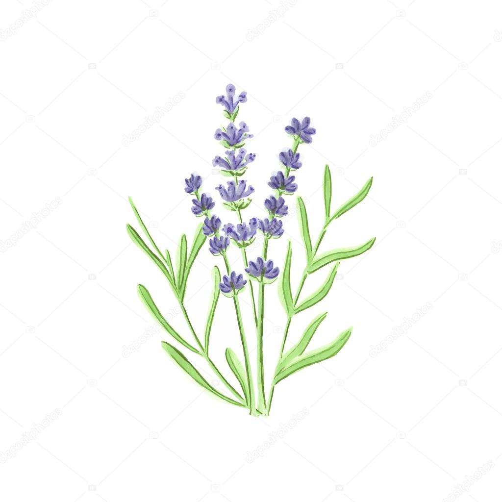 Watercolor lavender on the white background, aquarelle. Vector illustration.