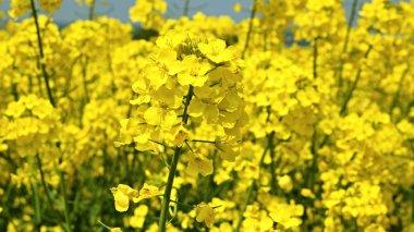 Yellow rape seed flowers