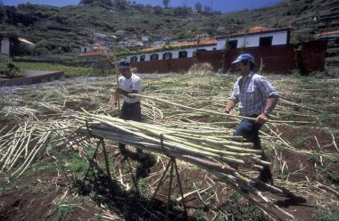 farmers at work with sugar cane in Portugal